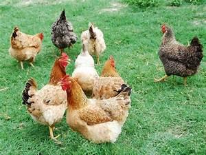 Comment élever Des Poules Pondeuses : que mange les poules id es d coration id es d coration ~ Dode.kayakingforconservation.com Idées de Décoration