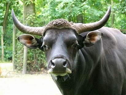 Banteng Bull Zoo Biz Animals Rotterdam Bullish