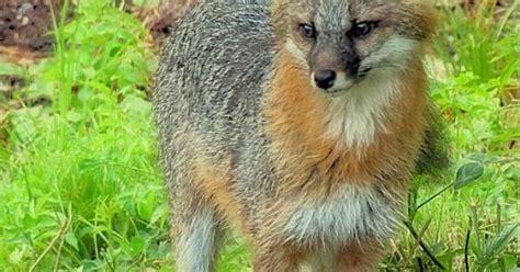 beautiful gray fox  standing    hampshire