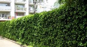 Immergrüne Kletterpflanze Für Zaun : immergr ne kletterpflanzen tolle bilder ~ Michelbontemps.com Haus und Dekorationen