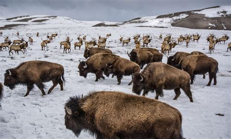 ranching  hunting shape protections  bison  elk