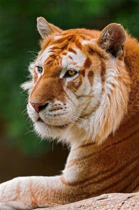 Golden Tabby Tiger Animals Stuff Pinterest