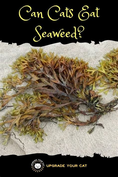 can cats eat seaweed with salt