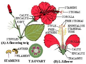 penjelasan bagian bagian bunga kembang sepatu beserta