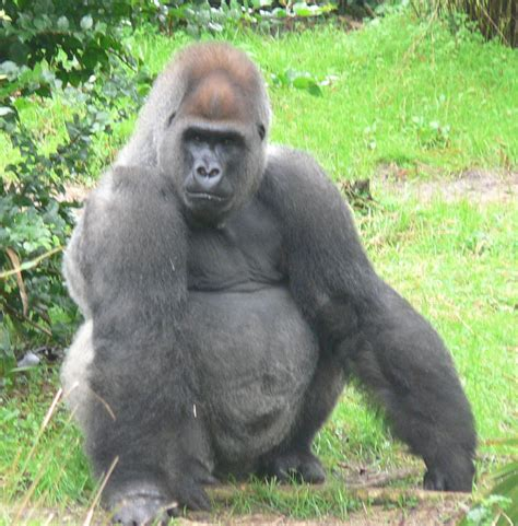 Silverback Gorilla Fight