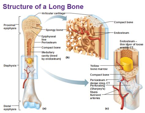 pictures bone structure human anatomy library