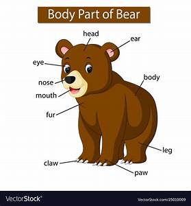 Diagram Showing Body Part Bear Royalty Free Vector Image