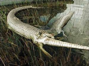 Someone Who Lays Carpet by Alligator Vs Python Video Pictures And Ananlysis