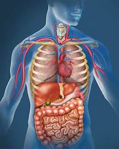 Internal Organs Back View Stock Illustration  Illustration