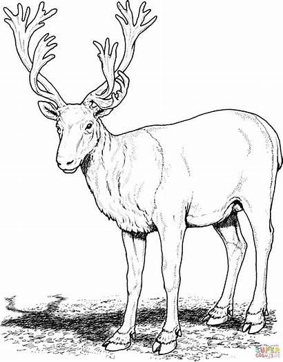 Caribou Coloring Deer Renna Clipart Colorare Printable