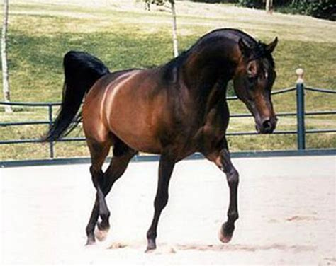foto de Wszystko o koniach: RASY Czsyta krew arabska