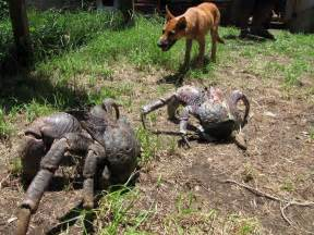 Christmas Tree Amazon India by Pin Giant Coconut Crab The Wastetime Post On Pinterest