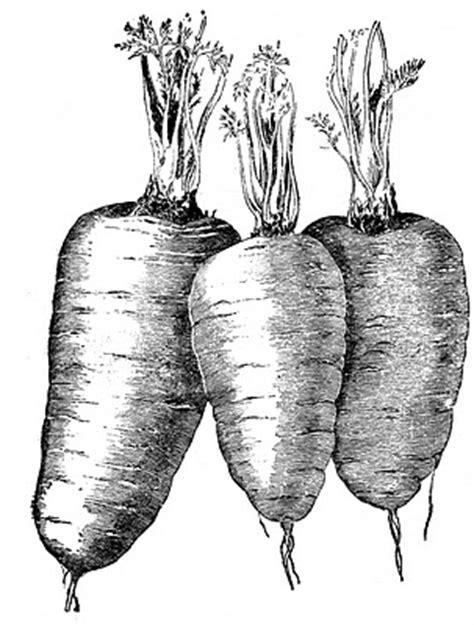 vintage vegetable clip art carrots  graphics fairy