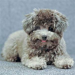 Cute Dogs|Pets: Lovable Toy Poodle Puppies