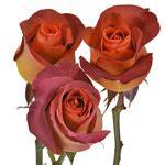 The coffee break rose is an elegant terracotta color with brown and orange tones. Coffee Break Terracotta Rose