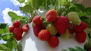 Faire Pousser Des Fraises : suivez ces tapes faciles et d couvrez comment cultiver des fraises en pot ~ Melissatoandfro.com Idées de Décoration