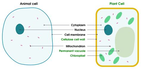 plant cell  animal cell difference  comparison