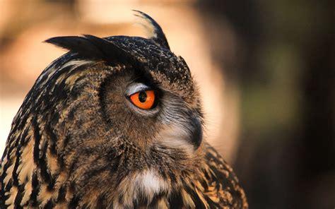 Black Owl Wallpapers by Black And White Owl Wallpaper Hd Desktop Wallpapers 4k Hd
