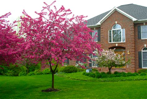 best ornamental trees image gallery ornamental trees for landscaping