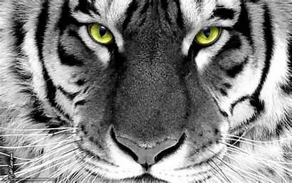 Tigre Wallpapers Branco Olhos Tigres Quadro Parede
