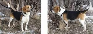 Pocket Beagles ~ Sire / Stud Pictures - Pocket Beagles ...