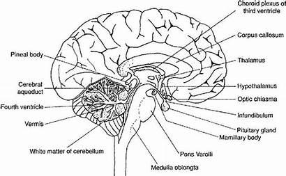Brain Diagram Labeled Worksheet Drawing Human Labels