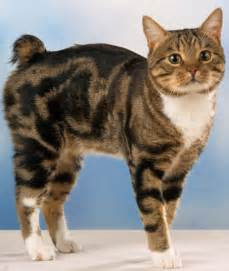 manx cats for 10 manx cat facts manx cat standing