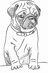 Pug Printable Drawing Dog Puppy Dogs Sketch Simple Pugs sketch template