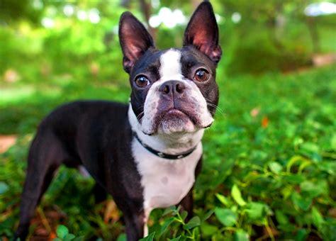 razas de perros pequenos  tranquilos redcaninaes