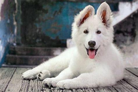 images  white german shepherds  pinterest