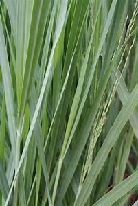 Winterharte Gräser Balkon : winterharte gr ser online ziergr ser kaufen bambus und pflanzenshop ~ Buech-reservation.com Haus und Dekorationen