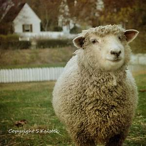 Country Sheep Photograph Cute Smiling Sheep White Pickett