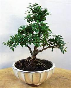 ilex carmens bonsai garten online shop fur bonsai pflanzen With feuerstelle garten mit bonsai shopping
