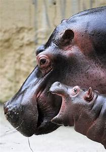16 Baby Hippos That Will Make Everything Better