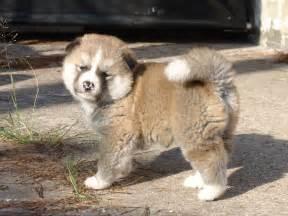 american akita puppy gallery
