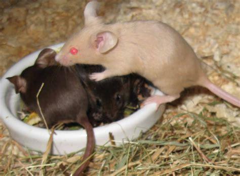 mousecolourscoattypes jinglesmousery