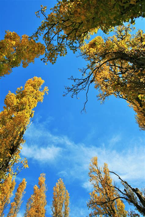 Circle Of Golden Poplars Free Stock Photo - Public Domain Pictures