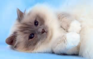birman cats for birman studs felonie birmans birman cats salisbury