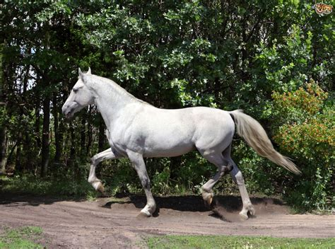 andalusian horse breeds horses breed pets4homes spain facts
