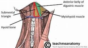 Anterior Triangle Of The Neck - Subdivisions
