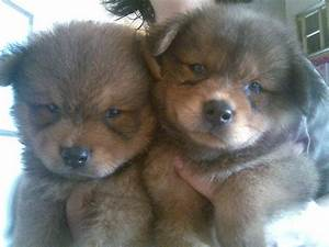 CHOW SPITZ PUPPIES FOR SALE FOR SALE ADOPTION from quezon ...