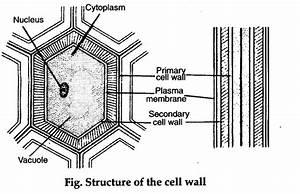 Describe The Structure Of Cell Wall - Cbse Class 11 Biology