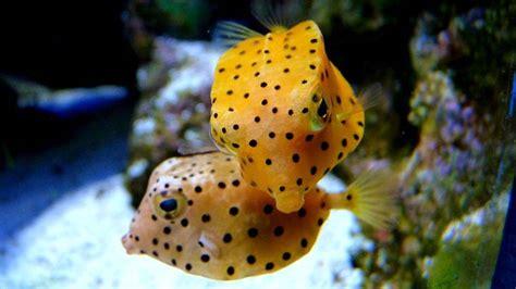 fish exotic colorful cute ocean fishes underwater sea spongebob saltwater tropical peixes fotos coloridos pxleyes creatures cubic pea divers trunkfish