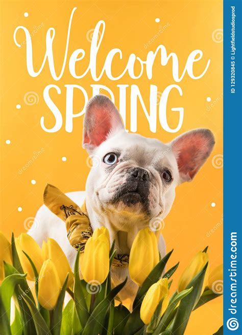 French Bulldog Dog And Beautiful Yellow Tulips With ...