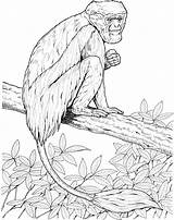 Monkey Coloring Pages Monkeys Colobus Zoo Tree Pyrography Primate Primates Activities Patterns Heart Mommy Preschoolers sketch template