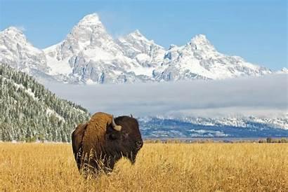 Teton Bison Grand Wyoming National Jackson Mountains