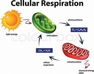 Diagram Showing Cellular Respiration Illustration