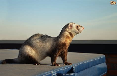 are ferrets pets are ferrets fun pets or a lot of hassle pets4homes