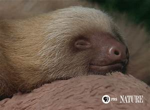 Sleepy Sloth GIF by ThirteenWNET - Find & Share on GIPHY