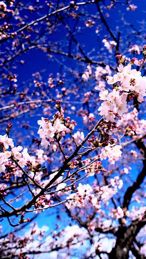 Standard 4:3 5:4 3:2 fullscreen uxga xga svga qsxga sxga dvga hvga hqvga. Cherry Blossoms - The iPhone Wallpapers
